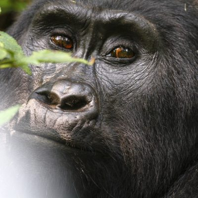 Berggorilla (Gorilla beringei beringei), Uganda