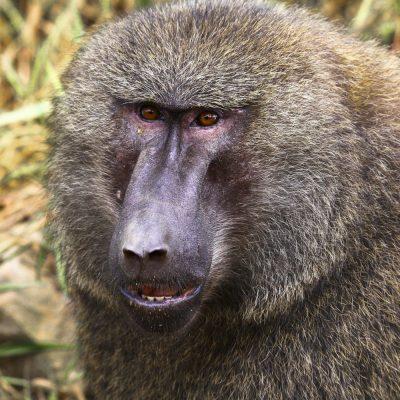 Paviane (Papio), Uganda