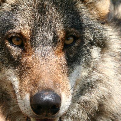 Iberischer Wolf (Canis lupus lupus), Spanien