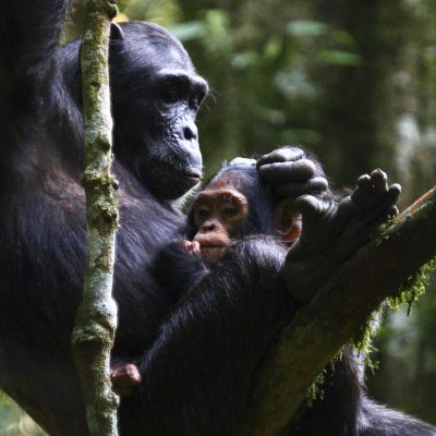 Schimpanse (Pan troglodytes), Uganda