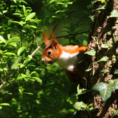 Eichhörnchen, Wien, 042012